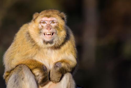 Кровоточащее сердце обезьян