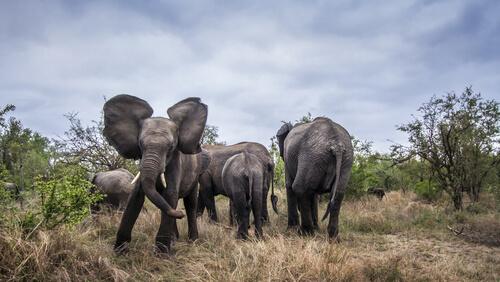 Agresividad en elefante
