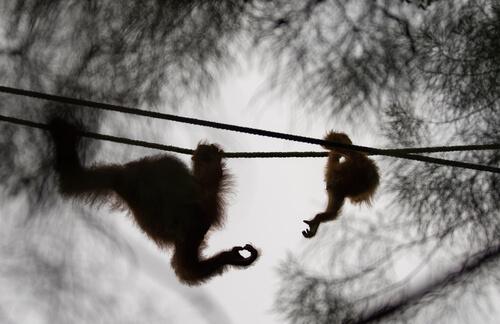 Alba la orangután.