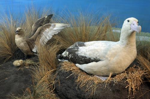 Situación actual de la especie albatros de cola corta