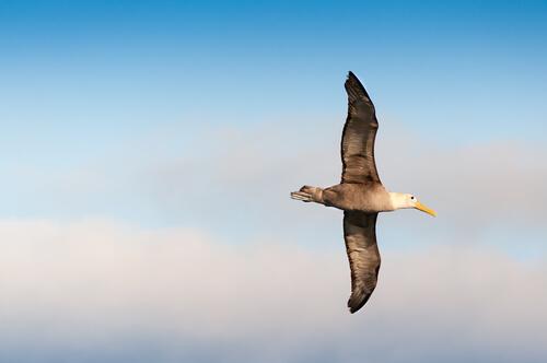Albatros de las galápagos: alimentación