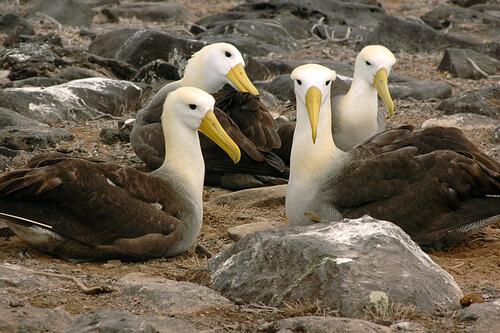 Albatros de las galápagos: reproducción