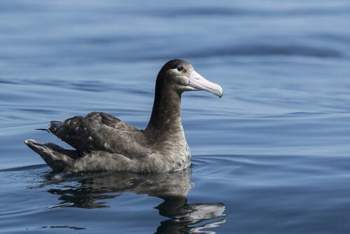 Albatros de Steller