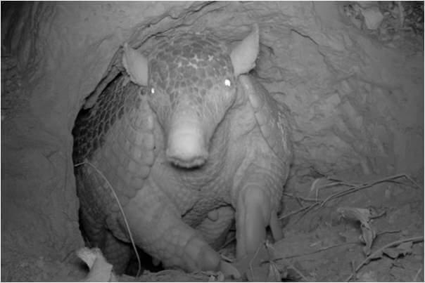 Armadillo gigante: reproducción