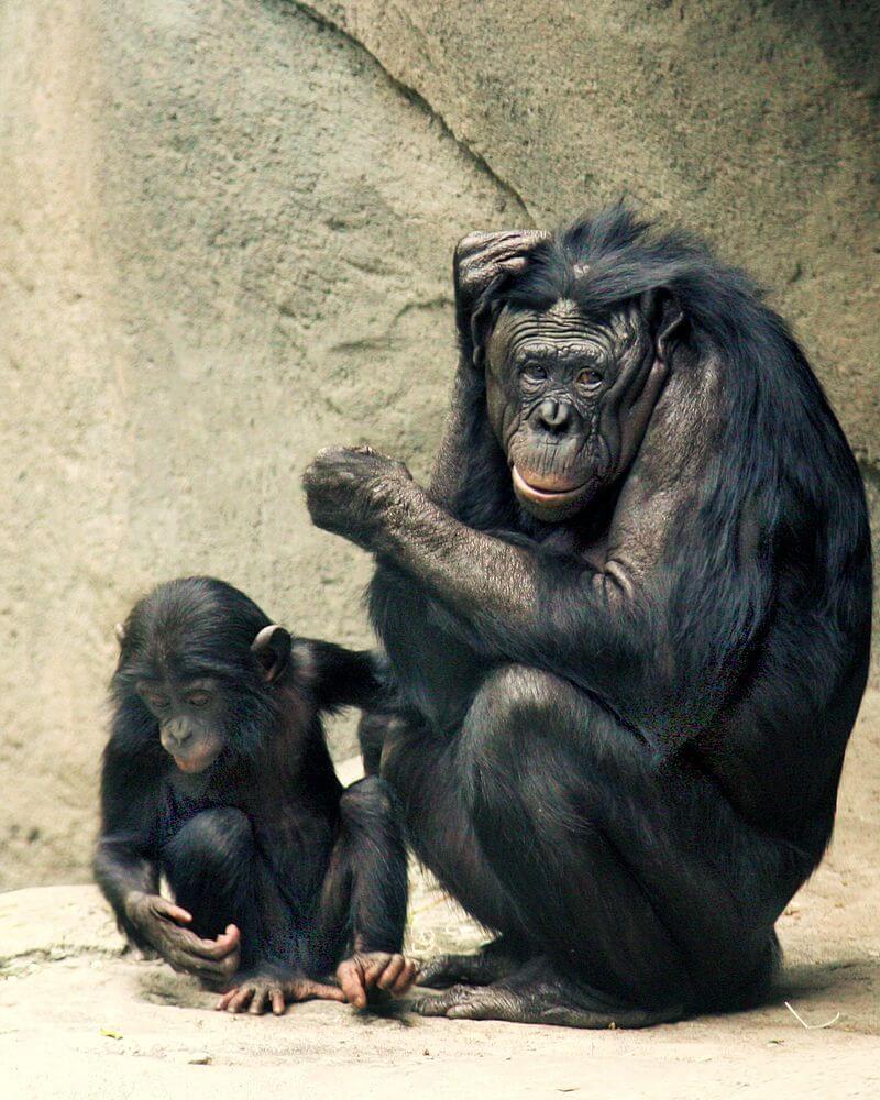 Bonobo: características