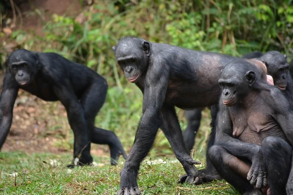 Bonobo: comportamiento