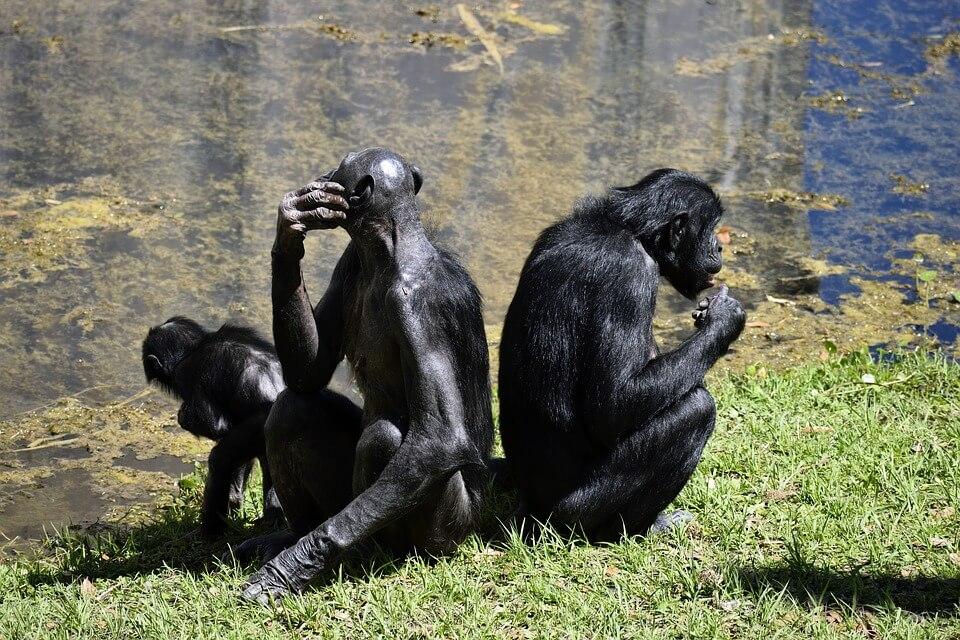 Bonobo, un gran mono con una voz 'diminuta'
