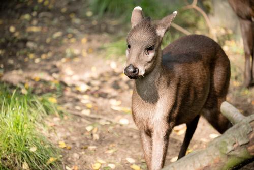 Ciervo de copete: hábitat