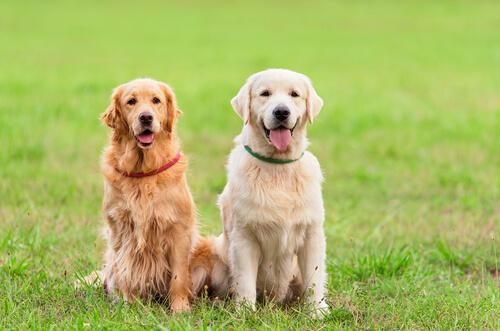 Collares antiparasitarios para perros: Scalibor