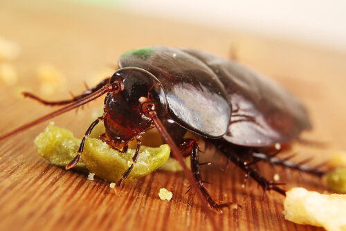 Cucaracha: comida