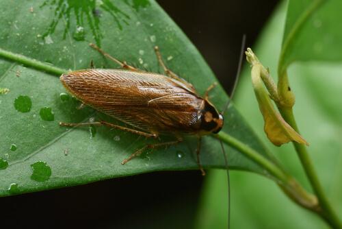 Cucaracha: radiación