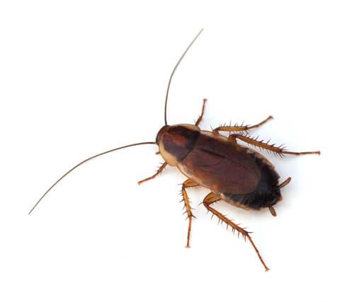 9 curiosidades sobre las cucarachas