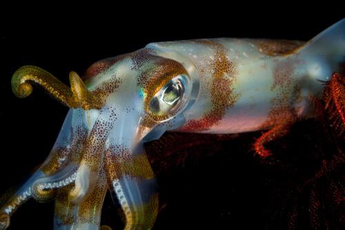 Diferencias entre calamar y sepia