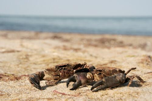 Diferencias entre cangrejos y nécoras