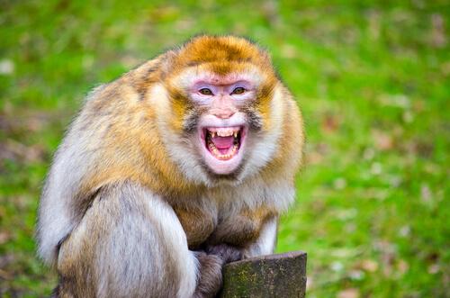 El mono que atacó al rey