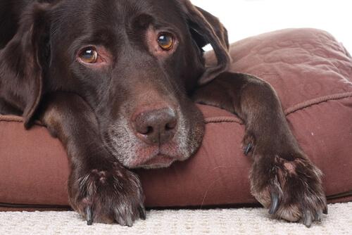 Enfermedad bacteriana en perros