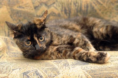 ¿Cómo son los gatos carey?