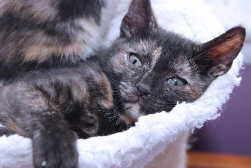 Gatos carey: hembras