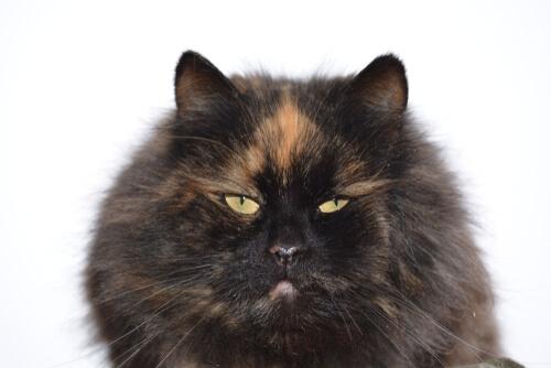 Gatos carey: leyenda