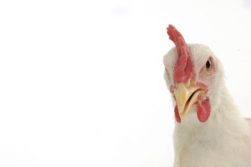 Gripe del pollo