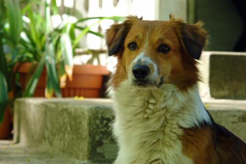 Hipopigmentación en perros