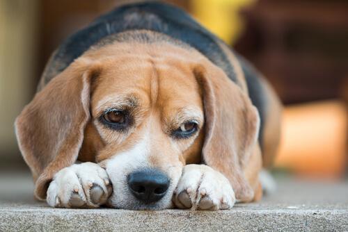 La toxocariasis que habita en los intestinos de los perros
