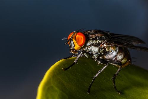 La mosca Dermatobia hominis