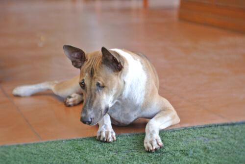 Глазные травмы у собак: симптомы и лечение