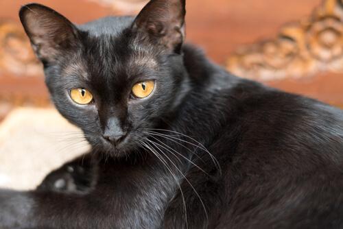 Lo que debes saber sobre el virus de la leucemia felina