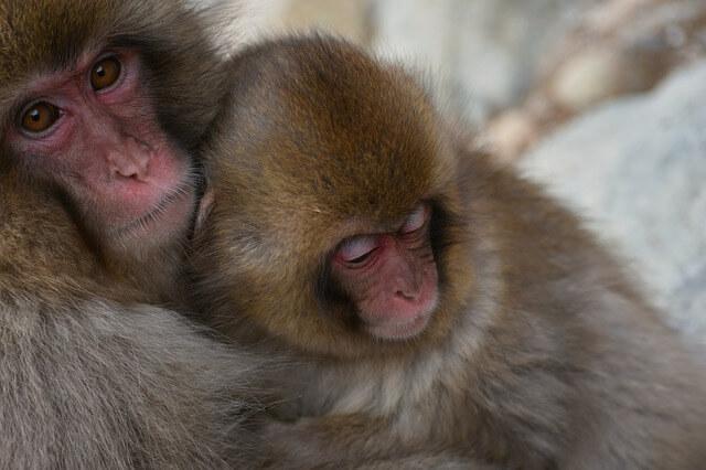 Macaco japonés: abrazos