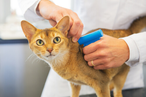 ¿Es obligatorio el microchip en gatos?