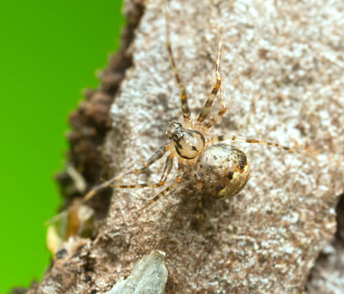 Mimetidae