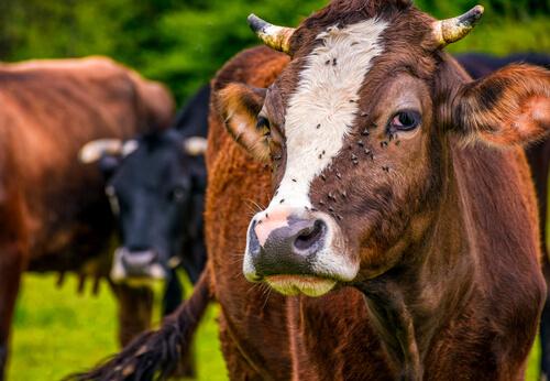 Moscas en vacas.