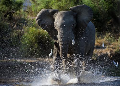 ¿Qué es el must de los elefantes?