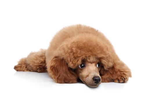 Orquitis en perros: síntomas