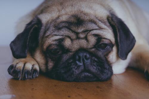 Лечение орхита у собак
