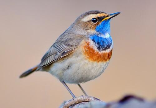 Ruiseñor pechiazul: aspectos de esta maravillosa ave
