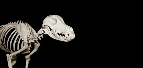 Un perro prehistórico en Murcia