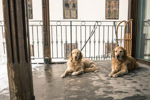 Perros en balcones