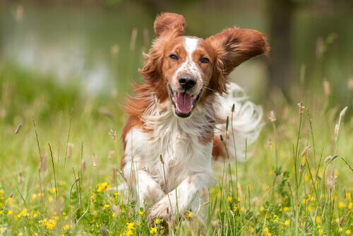 Maneras en que los perros se refrescan cuando sudan