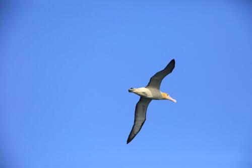 Phoebastria albatrus