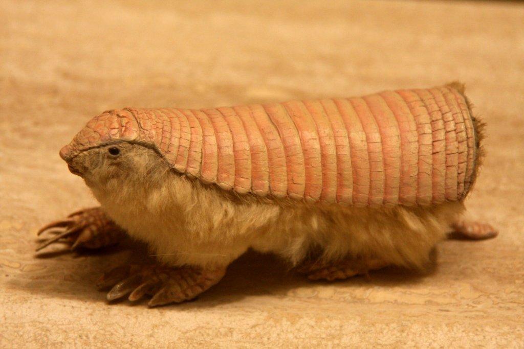 El pichiciego menor: todo sobre esta especie animal