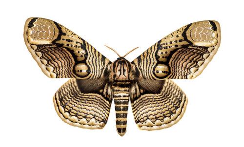 Polilla Brahmin(Brahmaeidae)