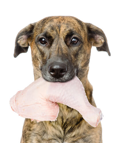 Опасность кормления собаки сырой курицей