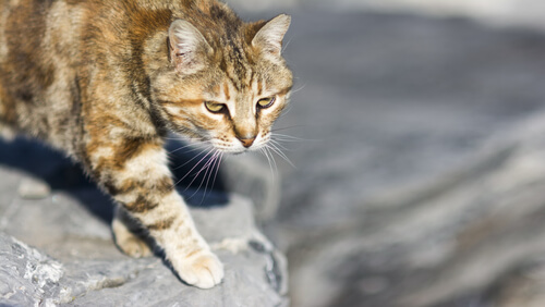 Por qué los gatos cazan