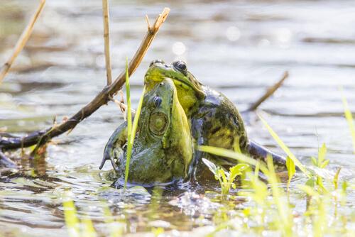 Rana toro: reproducción