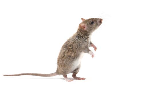 Información sobre la rata marrón