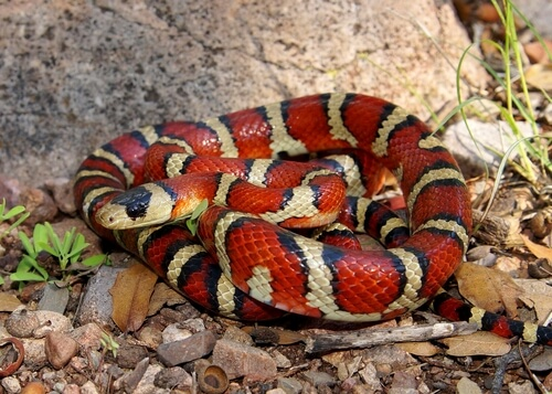 Serpiente coral falsa