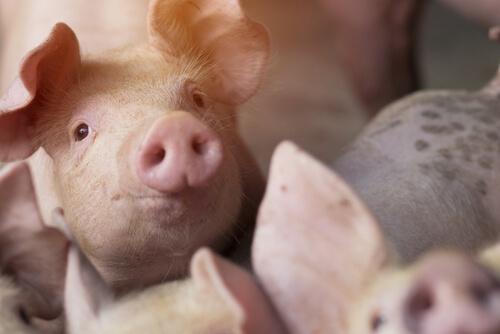 Síntomas de la balantidiosis en cerdos