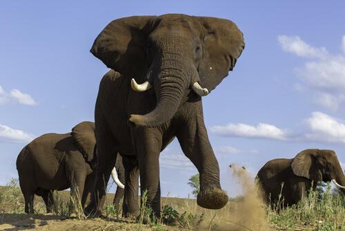 Testosterona en elefantes